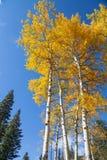 Aspens in Autumn Stock Image