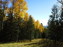 Aspens in the Fall. Aspens changing color in the Fall Royalty Free Stock Photo