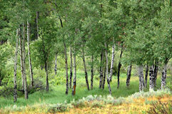 Aspens of Colorado Royalty Free Stock Images
