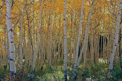 Aspens in the Colorado mountains Royalty Free Stock Images