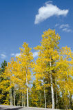 Aspens in Colorado Vertical Royalty Free Stock Photo