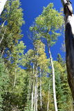 Aspens Early Fall. Early fall shot of Aspens in Colorado.  Blue skies with bark in foreground Stock Photography