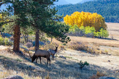 Aspens and Elk. Large bull elk in Moraine Park standing on the hillside with the fall colored aspens in the background Royalty Free Stock Images