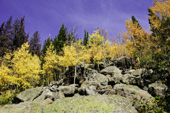 Aspens in fall Royalty Free Stock Photos