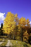 Aspens in Fall Stock Photos