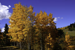 Aspens in the fall Royalty Free Stock Photo