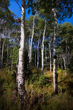 Aspens in The Fall Royalty Free Stock Photography