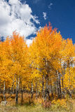 Aspens in Fall Stock Photo