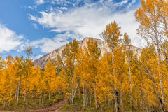 Aspens in Fall Royalty Free Stock Photo