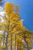 Aspens in Fall Stock Photography