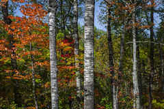 Aspens in fall forest Royalty Free Stock Photos