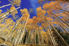 Aspens in Fall Royalty Free Stock Images