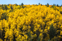 Aspens in the Fall Royalty Free Stock Images