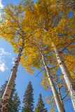 Aspens in Fall. Aspens showing brilliant golden fall colors reach for the sky Royalty Free Stock Image