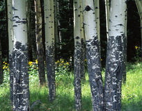 Aspens & Flowers Royalty Free Stock Photography
