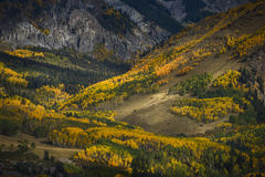 Aspen forest in Fall Color near Last Dollar Road Royalty Free Stock Photo