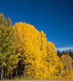Aspens in full fall color Stock Photography