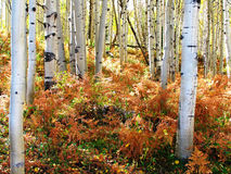 Aspens & Furn. Colorado forest Stock Photography