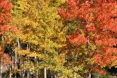 Aspens. Golden Aspens trees, orange aspens, Continental Divide, Colorado, aspen tree Royalty Free Stock Images