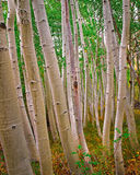 Aspens in Hope Valley Royalty Free Stock Photos