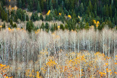 Aspens with leaves gone Stock Image