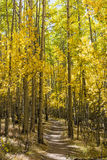 Aspens Line the Colorado Trail. Colorfull Aspens trees line the Colorado Trail in full Autumn color as it traverses through Kenosha Pass Royalty Free Stock Image