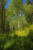 Aspens and Long Grass Stock Photo