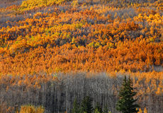 Aspens on mountain top Royalty Free Stock Images