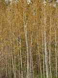 Aspens ordinary (Populus tremula L grew.  ) Stock Photo