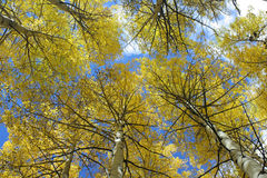 Aspens Overhead. Looking up at an aspen grove near Maroon Bells, Aspen, Colorado Stock Images