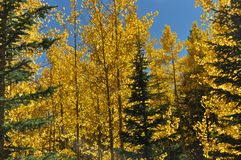 Aspens with Pine Accent royalty free stock photo