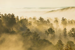 Aspens and pines in fog in northern Minnesota. Aspens and pine trees swathed in mist on a foggy northern Minnesota morning royalty free stock photography