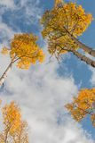 Aspens Reaching to the Sky in Fall Royalty Free Stock Images