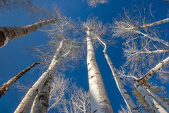 Aspens reaching to the sky in winter Royalty Free Stock Photos