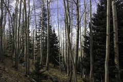 Aspens Rise. From the forest floor on a hillside Royalty Free Stock Photos
