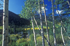 Aspens, San Juan National Forest, CO Stock Image