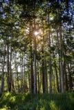 Aspens Shimmer in the Sunlight, Telluride, Colorado Stock Image