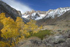 Aspens in Sierra Nevada mountains Royalty Free Stock Photos