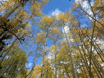 Aspens in the sky. Aspens in Colorado Royalty Free Stock Images