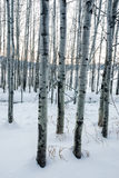 Aspens in snow white winter scene Stock Photo