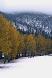 Aspens on a snowy day. Golden aspens stand in sharp contrast to the snow on the ground Stock Photo