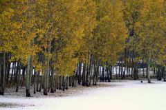Aspens on a snowy day Royalty Free Stock Photography