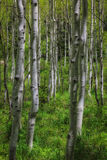 Through the Aspens. Aspens in the springtime in the Wasatch national forest in Utah USA Stock Photos
