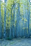 Aspens stand tall Royalty Free Stock Images