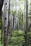 Aspens in summer. In Rocky Mountain National Park Stock Photo