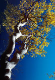 Aspens Sunrise A. Looking up to white trunk and golden leaves of Aspen tree against deep blue sky Stock Photos