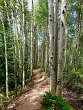 Through the Aspens. A trail in the forest of aspens Stock Photography