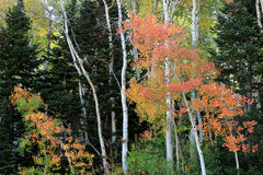 Aspens in the Utah mountains Stock Image