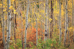 Aspens in the Wasatch Mountains. Stunning aspens in the Wasatch Mountains, USA Royalty Free Stock Images