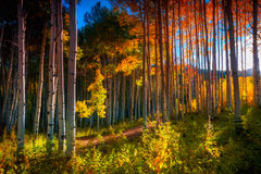 Aspens Of The West Elk Mountains royalty free stock photos